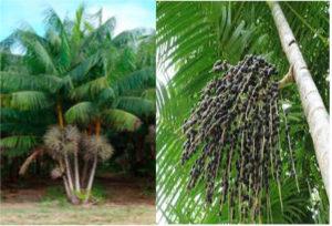 açaizeiro touceira e fruto